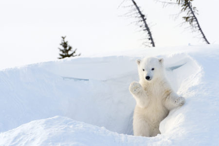 Os filhotes do urso-polar nascem em tocas