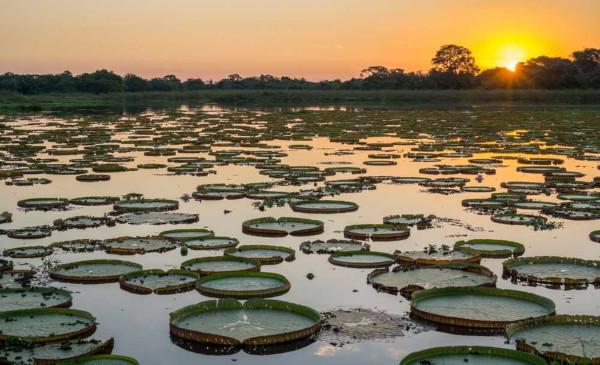 A vitória-régia é uma espécie típica da vegetação do Pantanal.