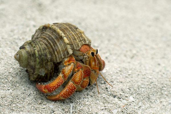 O caranguejo-ermitão utiliza conchas de moluscos para proteger seu corpo.