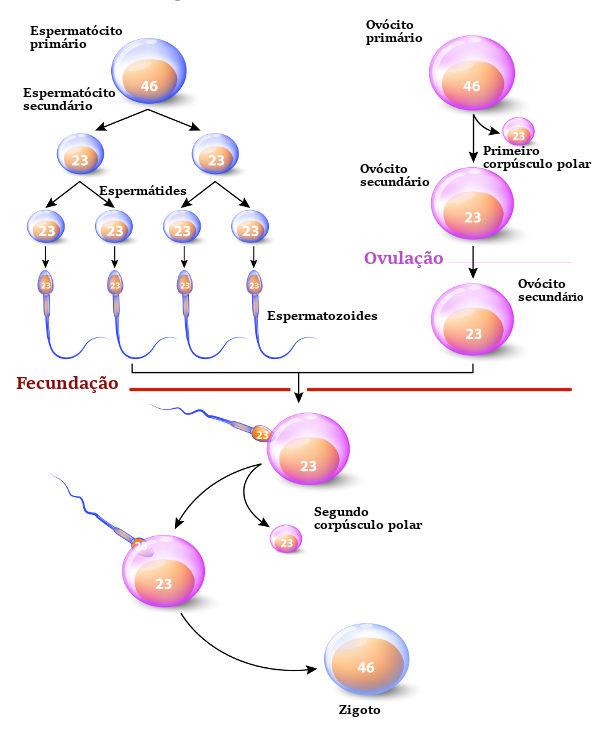 Observe o processo de gametogênese em homens e mulheres.