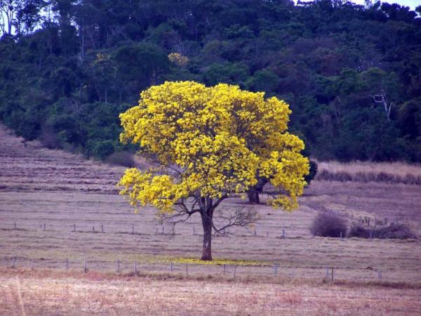O ipê é uma árvore característica da fitofisionomia conhecida como mata seca.