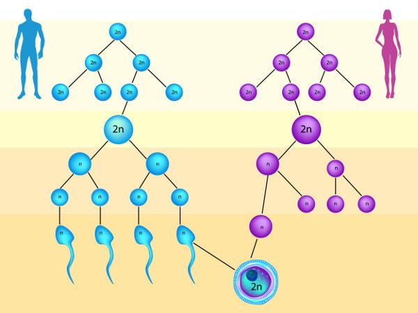 A gametogênese que ocorre em homens difere-se daquela que ocorre em mulheres.