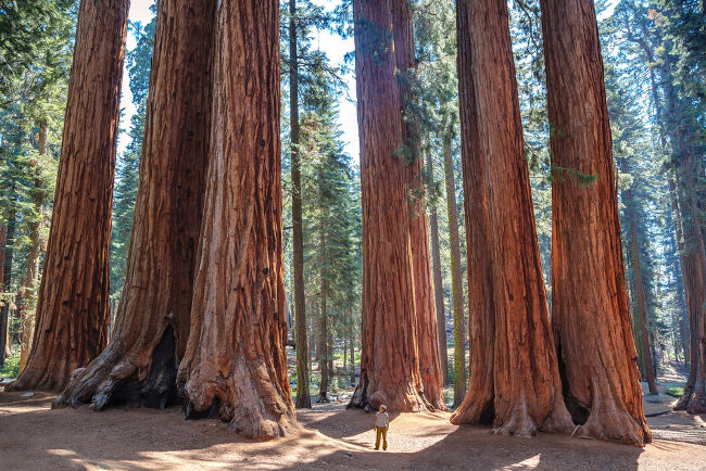 Sequoias são árvores que podem atingir 115 metros de altura, 12 metros de diâmetro e cerca de 1400 toneladas, vivendo mais de 4500 anos de idade.