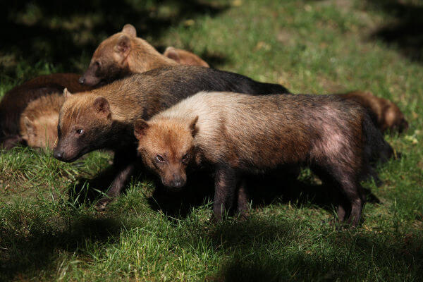 O cachorro-do-mato-vinagre é uma espécie carnívora que pode ser encontrada em grupos.