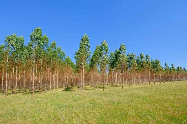 Monocultura de eucalipto