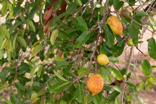 A mangaba é um fruto muito saboroso.