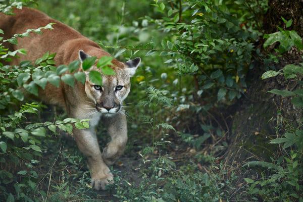 A suçuarana é o segundo maior felino das Américas.
