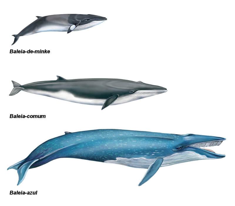 A baleia-azul é o maior animal do planeta. Observe a comparação entre ela e outras baleias.
