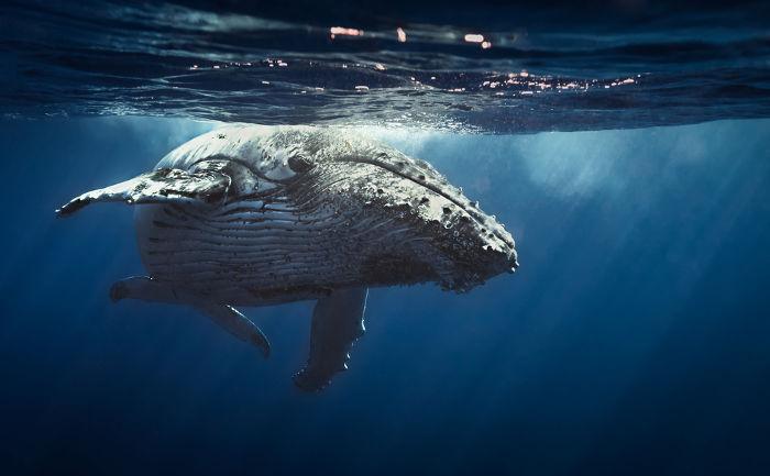 As baleias conseguem comunicar-se com infrassons mesmo distantes milhares de quilômetros umas das outras.