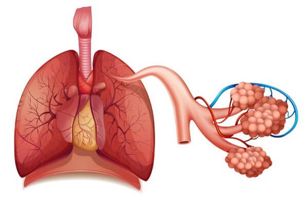 Os pulmões apresentam seu parênquima formado, principalmente, por alvéolos.