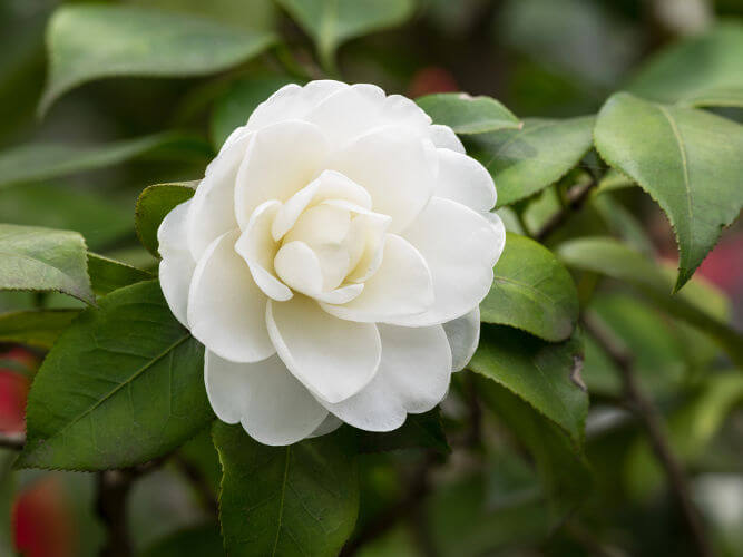 A camélia branca era uma flor cultivada pelos quilombolas do Quilombo do Leblon e tornou-se um símbolo do abolicionismo no Brasil.