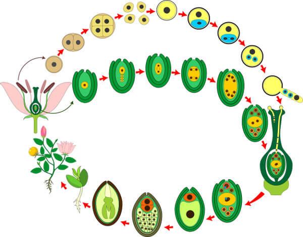 O ciclo de vida das angiospermas é complexo e envolve o processo de dupla fecundação.