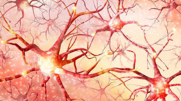 Os neurônios garantem a transmissão do impulso nervoso.