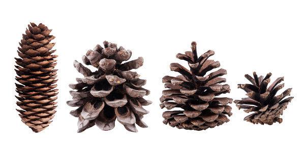 Os estróbilos, também chamados de cones, são estruturas relacionadas com a produção de esporos.