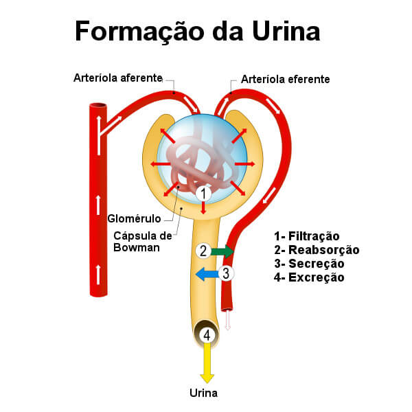 Sistema Urinário órgãos Como Funciona Curiosidades
