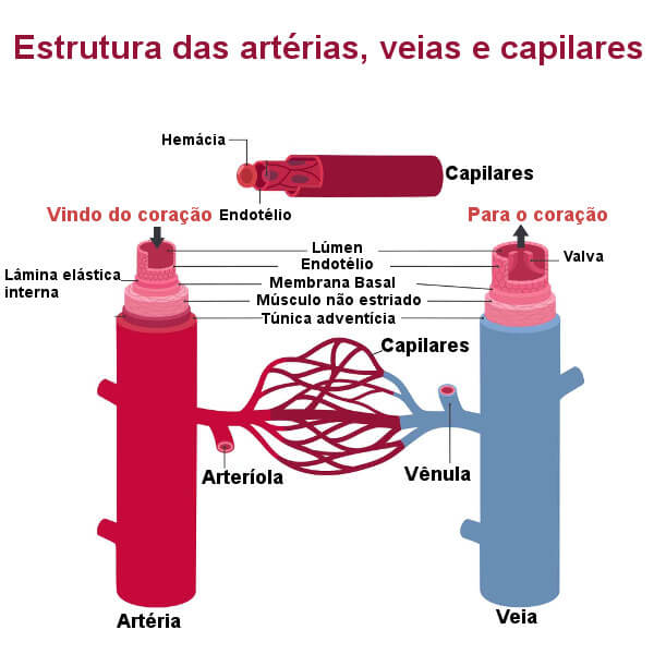 Observe atentamente a estrutura dos diferentes tipos de vasos sanguíneos.