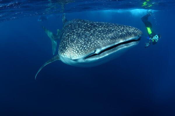 O tubarão-baleia é o maior tubarão do mundo.