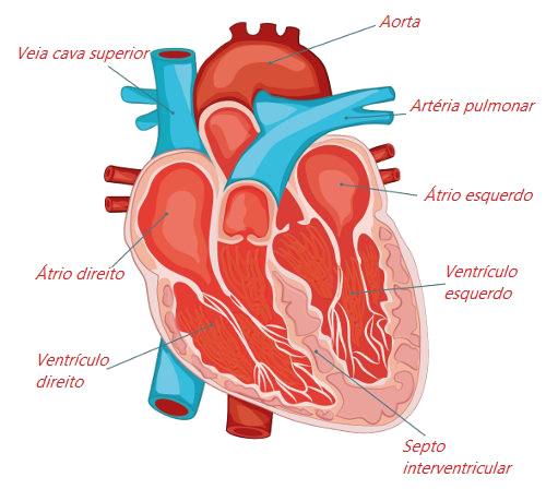 Observe as principais partes do coração humano.