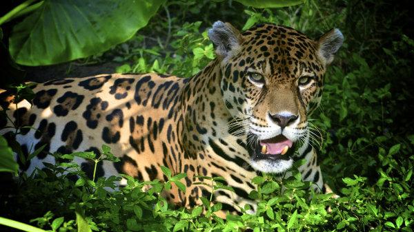 A onça-pintada é um dos animais encontrados na Amazônia.