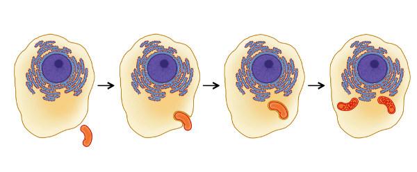 As mitocôndrias provavelmente eram organismos procariontes que foram englobados por uma célula mais complexa.