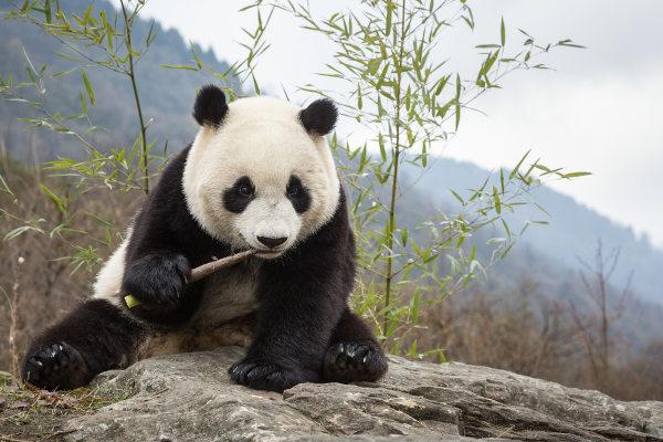 Os ursos pandas são animais que se alimentam basicamente de bambu.